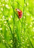 La coccinelle sur une herbe couverte de rosée. image libre de droits