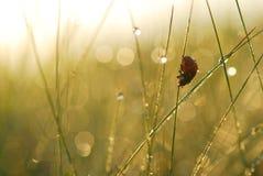 La coccinelle sur une herbe couverte de rosée. Images libres de droits