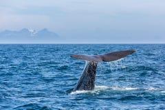 La coda del capodoglio con lo spruzzo d'acqua nell'oceano Immagine Stock Libera da Diritti