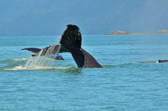 La coda della balena Fotografia Stock
