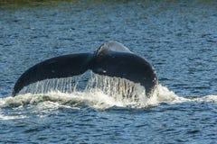 La coda della balena Immagini Stock