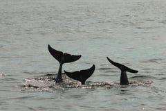 La coda di racconto di tre delfini immagine stock