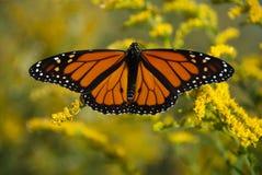 La coda di rondine è una farfalla della famiglia Papilionidae Immagine Stock Libera da Diritti