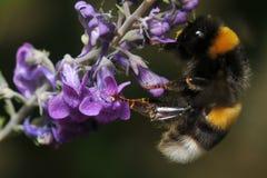 La cola blanca manosea la abeja en las flores púrpuras Imagen de archivo libre de regalías