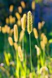 La cola de zorra de prado Imagen de archivo libre de regalías