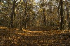 La colata bassa di luce solare rays e ombre fra gli alberi in più forrest Immagini Stock