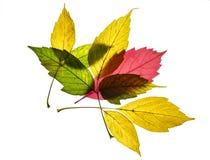 La colección de llie amarillo, rojo y verde colorido hermoso de las hojas de otoño en uno a aisló en el fondo blanco fotografía de archivo