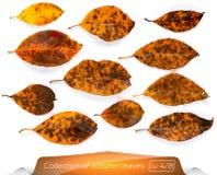 La colección de marrón amarillo vivo se va en los puntos de los gusanos Sistema de hojas de otoño en un fondo blanco plantas Fotos de archivo libres de regalías
