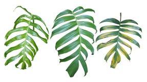 La colección de planta del pholodendron de Monstera se va, la e tropical Fotografía de archivo libre de regalías