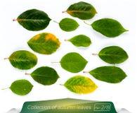 La colección de verde sale de las hojas amarillas claras verdes Sistema de hojas de otoño en un fondo blanco Plantas en aisladas Imagen de archivo libre de regalías