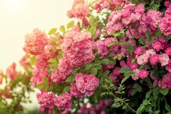 La colección más grande de rosas en fondo del jardín de rosas de Rosario fotos de archivo libres de regalías