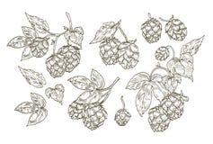 La collection de dessins botaniques élégants d'houblon partie Ensemble de fleurs de découpe et de feuilles d'usine d'isolement su Images libres de droits