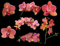 La collection de l'orchidée lumineuse fleurit avec les bandes roses Photographie stock libre de droits