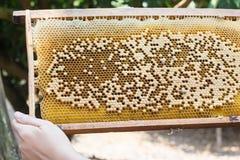 La colmena de la abeja o la jerarquía de la abeja con la mano, cosecha la abeja de la miel en granja Imagenes de archivo