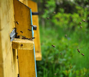 La colmena de la abeja vuela al eye_3 Imagen de archivo