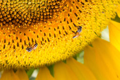 La colmena de las abejas poliniza el girasol Fotografía de archivo libre de regalías