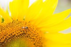 La colmena de las abejas poliniza el girasol Fotos de archivo libres de regalías