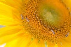 La colmena de las abejas poliniza el girasol Imagen de archivo libre de regalías