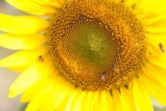 La colmena de las abejas poliniza el girasol Imagen de archivo
