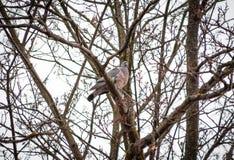 La colomba è selvaggia, in primavera si siede su un ramo di albero vicino e sul tubare fotografia stock