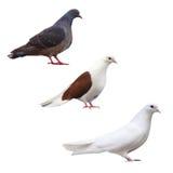La colomba del piccione ha isolato la raccolta nera stabilita dell'uccello Fotografia Stock Libera da Diritti