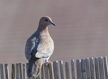 La colomba di risata si è appollaiata su un recinto di bambù fotografie stock libere da diritti