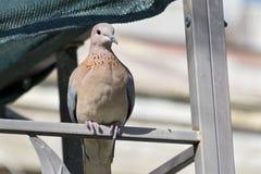 La colomba di risata si è appollaiata su una struttura del gazebo immagini stock