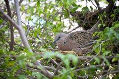 La colomba macchiata sta covando in un giardino Immagine Stock