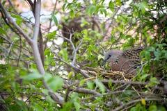 La colomba macchiata sta covando in un giardino Fotografia Stock Libera da Diritti
