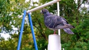 La colomba selvaggia Fotografia Stock