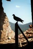 La colomba, simbolo di pace Fotografie Stock Libere da Diritti