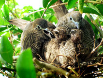 La colomba sta alimentando il bambino Fotografia Stock Libera da Diritti