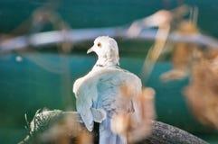 La colombe Anneau-étranglée étire son cou Image stock