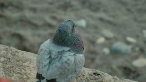 La colombe d'oiseau a tiré très étroitement La colombe grise se repose sur la terre ou le sable banque de vidéos