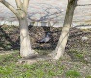 La colombe de bleu le pigeon est l'oiseau du monde Image stock