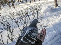 La colombe de bleu le pigeon est l'oiseau du monde Image libre de droits