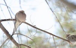 La colombe de deuil, tortue a plongé macroura de Zenaida sur une branche d'arbre Photographie stock libre de droits