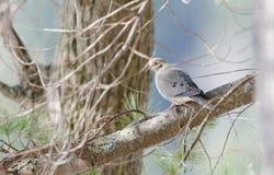 La colombe de deuil, tortue a plongé macroura de Zenaida sur une branche d'arbre Image stock