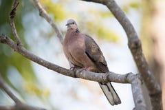 La colombe de roche était perché sur une branche d'arbre avec les feuilles vertes Image libre de droits