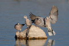 La colombe de tortue de cap débarque sur la pierre Photos libres de droits