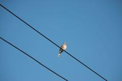 La colombe est sur le fil La colombe est une famille d'amour et d'oiseau de ture Photos libres de droits