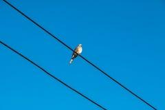 La colombe est sur le fil La colombe est une famille d'amour et d'oiseau de ture Images libres de droits