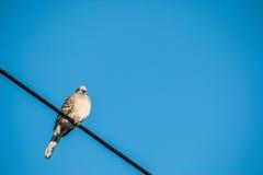 La colombe est sur le fil La colombe est une famille d'amour et d'oiseau de ture Photographie stock