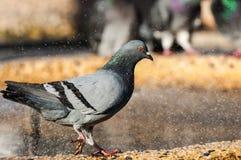 La colombe et une éclaboussure de l'eau Photo stock