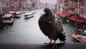 La colombe grande photos libres de droits