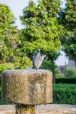 La colombe grise est eau potable  Photos stock