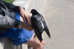 La colombe se repose sur le bras du ` s d'homme photographie stock