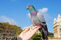 La colombe se repose sur une main du ` s de femme Photo stock
