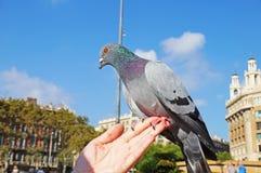 La colombe se repose sur une main du ` s de femme Photographie stock libre de droits