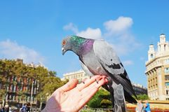 La colombe se repose sur une main du ` s de femme Image stock